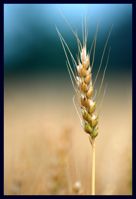A Head of Wheat at North Bend Plantation
